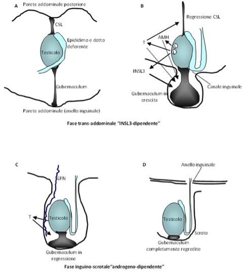 la vescicola seminale prostatica e le ghiandole bulbouretrali non __________