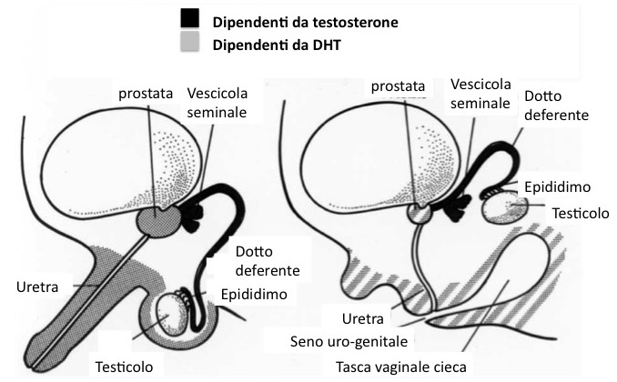 ormoni responsabili della crescita del pene medicina per migliorare il pene